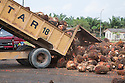 A load of oil palm fresh fruit bunches (FFBs) are dumped at the mill for processing. The Sindora Palm Oil Mill, owned by Kulim, is green certified by the Roundtable on Sustainable Palm Oil (RSPO) for its environmental, economic, and socially sustainable practices. Johor Bahru, Malaysia