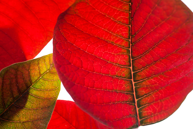 Abstract composition of red and green poinsettia leaves