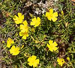 Coast rockrose plant, Halimium calycinum, yellow flowers Rota Vicentina Fishermen's Trail, Rogil, Algarve, Portugal