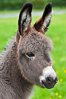 Donkey foal in Connemara, County Galway, Ireland