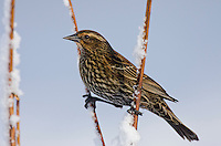 Female Red-winged Blackbird (Agelaius phoeniceus).  Pacific Northwest.  February.