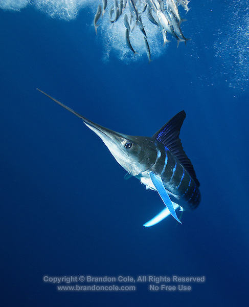 qf0095-D. Striped Marlin (Tetrapturus audax), feeding on Pacific Sardines (Sardinops sagax). Baja, Mexico, Pacific Ocean..Photo Copyright © Brandon Cole. All rights reserved worldwide.  www.brandoncole.com..This photo is NOT free. It is NOT in the public domain. This photo is a Copyrighted Work, registered with the US Copyright Office. .Rights to reproduction of photograph granted only upon payment in full of agreed upon licensing fee. Any use of this photo prior to such payment is an infringement of copyright and punishable by fines up to  $150,000 USD...Brandon Cole.MARINE PHOTOGRAPHY.http://www.brandoncole.com.email: brandoncole@msn.com.4917 N. Boeing Rd..Spokane Valley, WA  99206  USA.tel: 509-535-3489