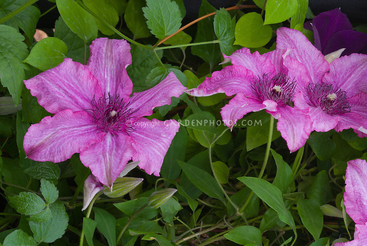 Clematis barbara plant flower stock photography gardenphotos clematis barbara vivid purplish pink flowers perennial flowering vine mightylinksfo