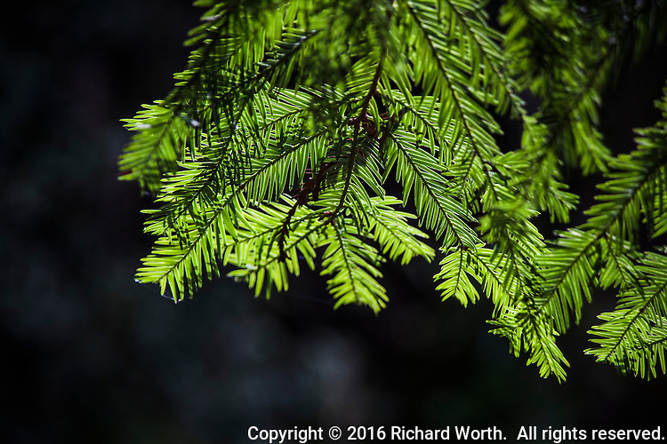 The backlit leaves of a coastal redwood tree glow a brilliant green along a trail in Redwood Regional Park, Oakland, California.