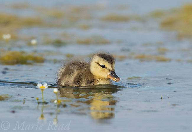 Gadwall (Anas strepera) duckling swimming, swimming, Benton Lake National Wildlife Refuge, Montana, USA