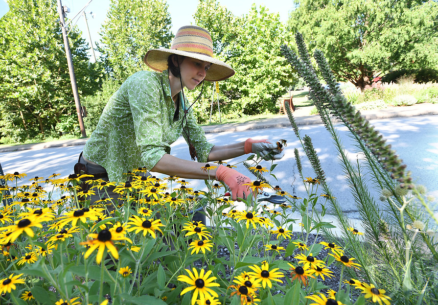 NWA Democrat-Gazette/J.T. WAMPLER Rachel Lyons of Fayetteville deadheads some Black-eyed Susans Monday August 12, 2019 at a garden on the corner of Park Ave. and Prospect St in Fayetteville. Lyons owns Bee Well Gardens and cares for this native plant garden for a client, an apartment complex near Wilson Park.