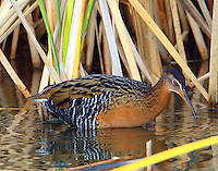 Adult king rail