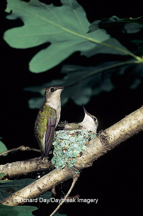 01162-02420 Ruby-throated Hummingbird (Archilochus colubris) adult feeding nestling, Marion Co.   IL