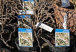 Prunus, Kojo-no-mai, potted plants on sale in a garden centre, UK