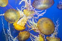 435250005 pacific sea nettle chrysaora fuscescens swim and float in their aquarium at the long beach aquarium in long beach california
