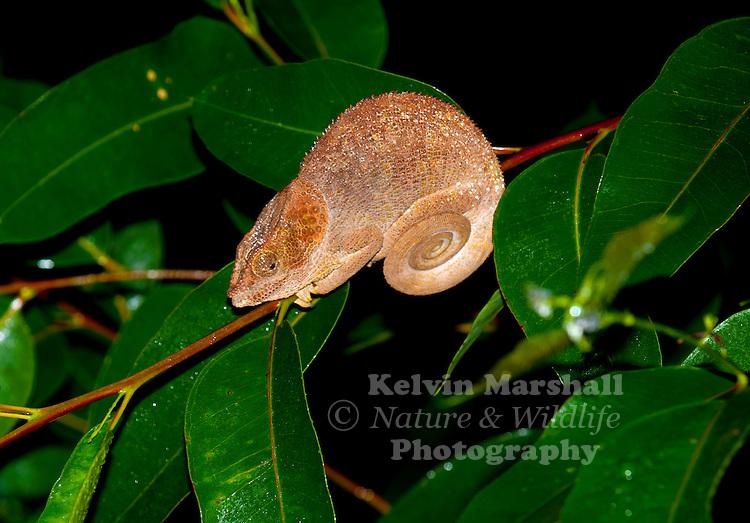 Elephant-eared chameleon, (Calumma brevicorne) Andasibe-Mantadia National Park -  Eastern Madagascar.