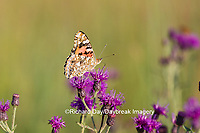 03406-01213 Painted Lady Butterfly (Vanessa cardui) on Missouri Ironweed (Vernonia missurica), Marion Co., IL