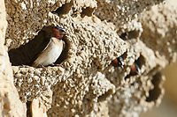 Cliff Swallow (Petrochelidon pyrrhonota) at nest. Sublette County, Wyoming. June.