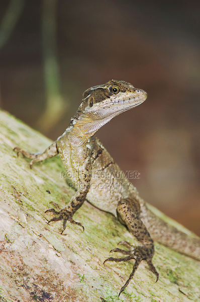 Common Basilisk, Jesus Christ Lizard, Basiliscus basiliscus, female, Manuel Antonio National Park, Central Pacific Coast, Costa Rica, Central America