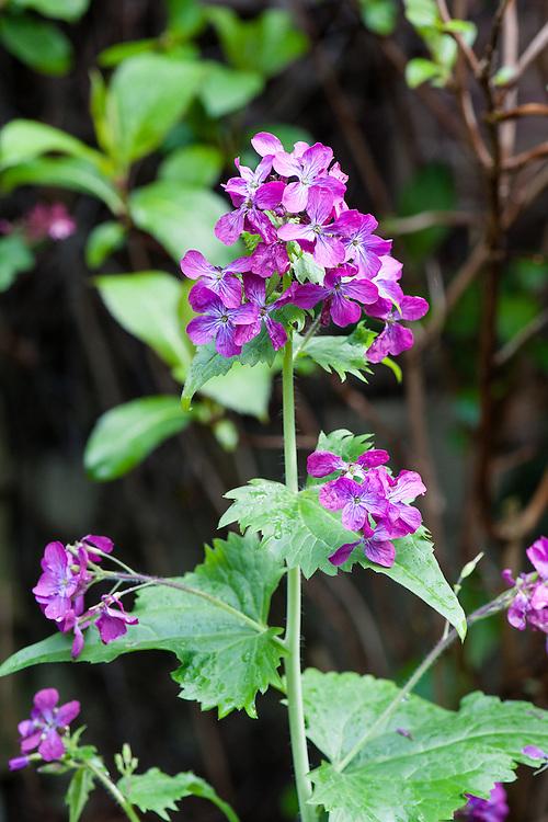 Honesty (Lunaria annua), late April.