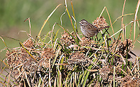 Song sparrows are among the many small birds seen in Pinnacles National Park.