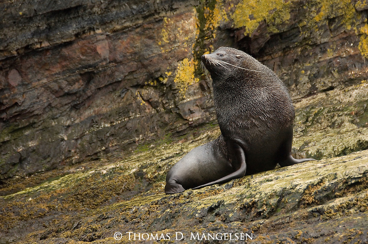 An Antarctic fur seal in Hercules Bay on South Georgia.