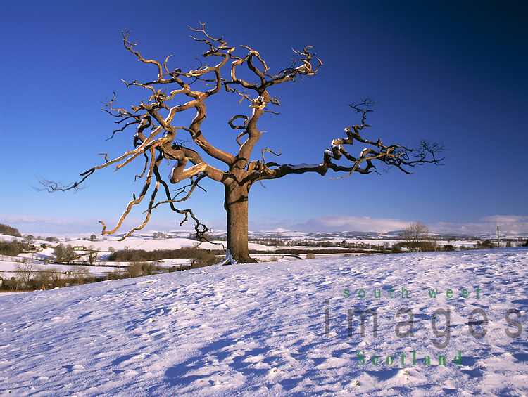 Dead tree in a snow covered landscape looking across the Nith Valley to Queensberry in the Lowther Hills near Dumfries Scotland UK
