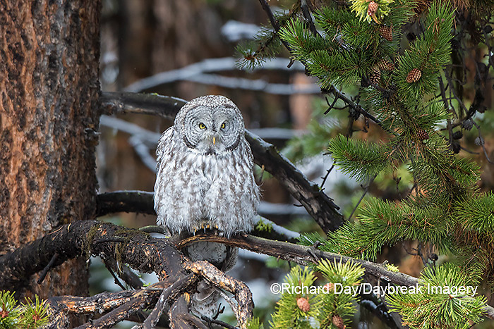 01128-00209 Great Gray Owl (Strix nebulosa) Yellowstone National Park, WY