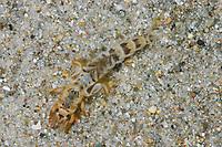 Große Eintagsfliege, Dänische Eintagsfliege, Maifliege, Larve, Nymphe, Ephemera danica, mayfly, green drake, larva, larvae
