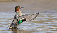 Green-winged teal drake flapping his wings after taking a bath in the shallow water.<br />