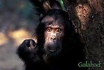 Africa, East Africa, Tanzania, Gombe NP<br /> Young male chimpanzee (Pan troglodytes) Galahad