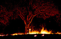 Lava flow from Kilauea volcano destroying a mango tree in Kalapana, Big island