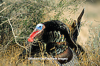 "00845-04701 ""Rio Grande"" Wild Turkey (Meleagris gallopavo) male/gobbler strutting,  Starr Co.  TX"