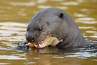 Giant otter (Pteronura brasiliensis) eating piranha, Pantanal, Brazil.