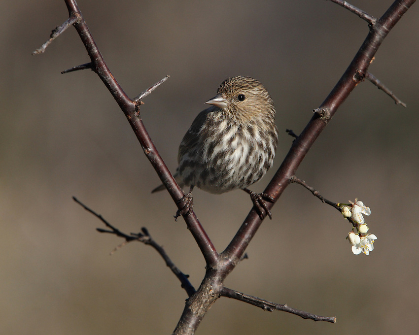 "Pine Siskins get through cold nights by ramping up their metabolic rates—typically 40% higher than a ""normal"" songbird of their size. Perched on an American Plum Tree in February."
