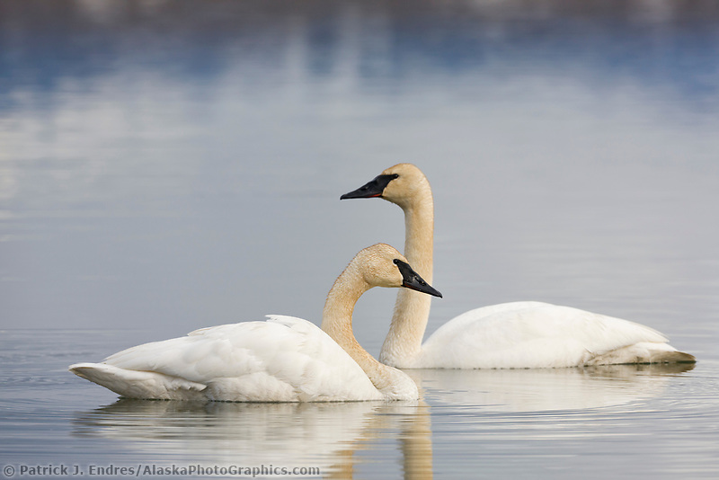 Trumpeter swans, Summit lake, southcentral, Alaska.