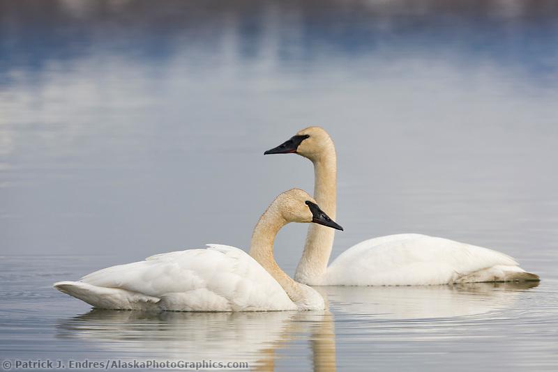 Trumpeter swans, Summit lake, southcentral, Alaska.