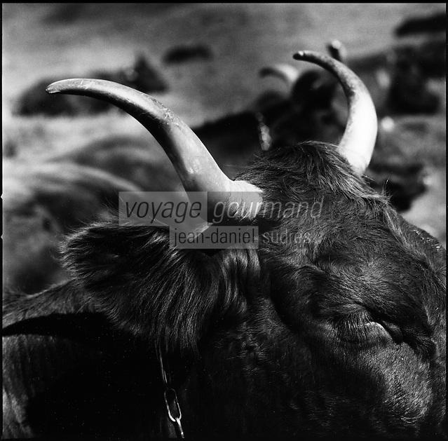 Europe/France/Auvergne/15/Cantal/Massif du Puy Mary : Vache de race Salers au buron du Col de Rombière -Parc Naturel Régional des Volcans d'Auvergne