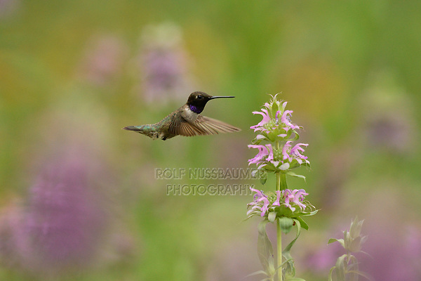 Black-chinned Hummingbird (Archilochus alexandri), male feeding from Lemon beebalm (Monarda citriodora) flower, Hill Country, Central Texas, USA