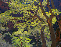 Zion National Park, UT<br /> Fremont Cottonwoods (Populus fremontii) in early spring - backlit in the Temple of Sinawava