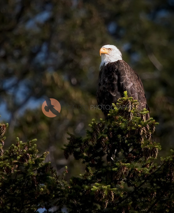 Bald eagle sitting in a fir tree in Wyoming