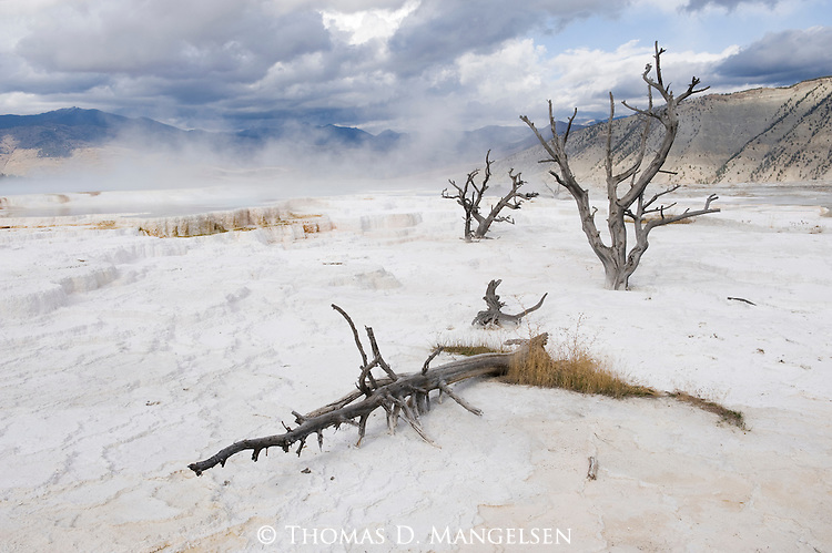 Steam rises behind dead trees at Mammoth Hot Springs, Yellowstone National Park, Wyoming.