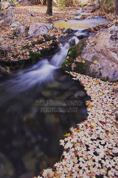 Stream with fallen leaves of Bigtooth Maples (Acer grandidentatum) fallcolors, McKittrick Canyon, Guadalupe Mountains National Park, Texas, USA, November 2005