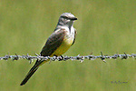 KINGBIRD; western kingbird