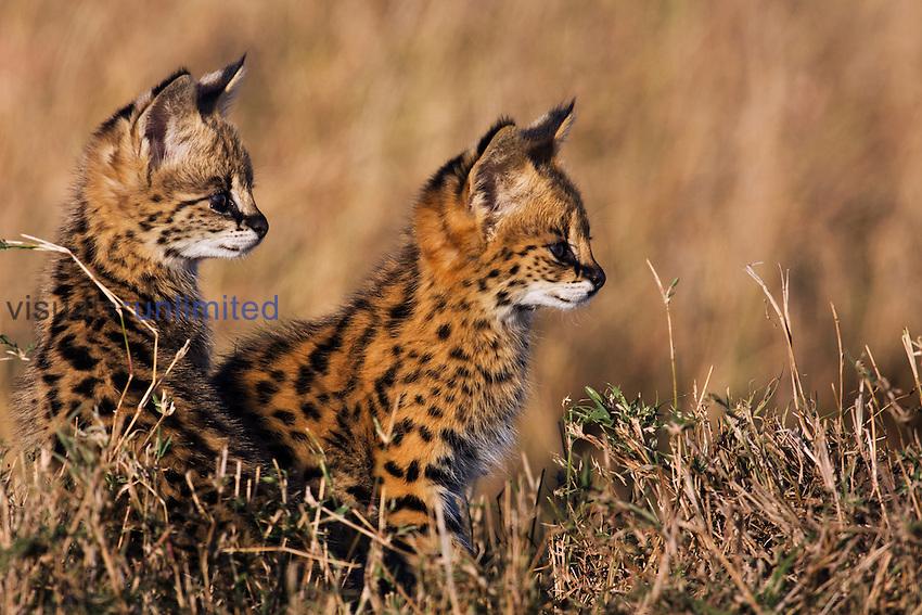 Serval kittens (Leptailurus serval), Maasai Mara National Reserve, Kenya.