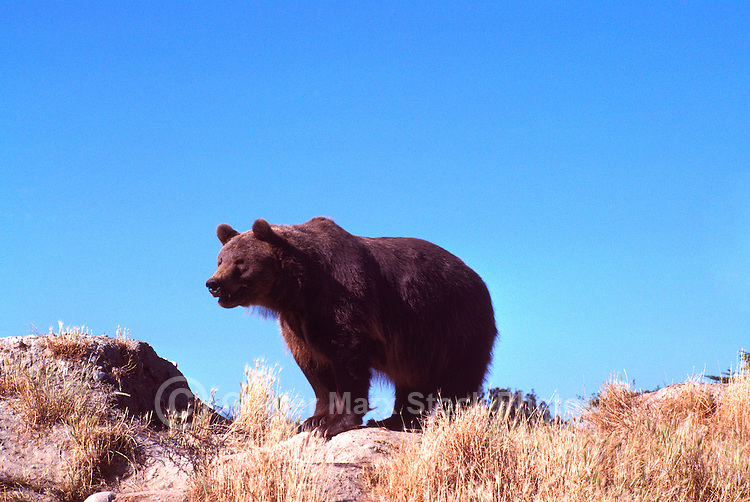 Kodiak Bear aka Alaskan Grizzly Bear and Alaska Brown Bear (Ursus arctos middendorffi) standing on Ridge