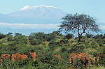 Herd of elephants (Loxodonta africana) feeding in savanah, Mount Kilimanjaro in background. Tsavo West National Park, Kenya.