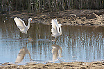 FB-S156  Back faded photo.  4x6 postcard.  Snowy egrets