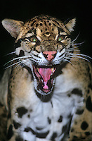 654344012 a captive wildlife rescue clouded leopard neofelis nebulosa snarls and threat displays at a wildlife rescue facility - species is native to central asia and is highly endangered