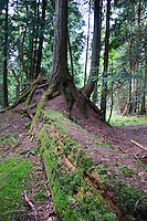 Nurse Log and Trees, Jones Island, San Juan Islands, Washington, US