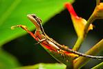Jesus Christ Lizard (Basiliscus basiliscus) female, Tortuguero National Park, Costa Rica