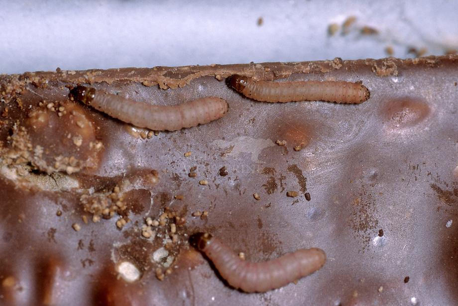 Cacaomot (Ephestia elutella)