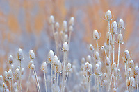 Snow on teasles. Elkhorn Drive National Scenic Byway. Oregon