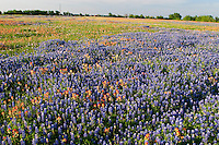 Calm cloulds paint the spring during annual bluebonnet blooms, Texas, USA