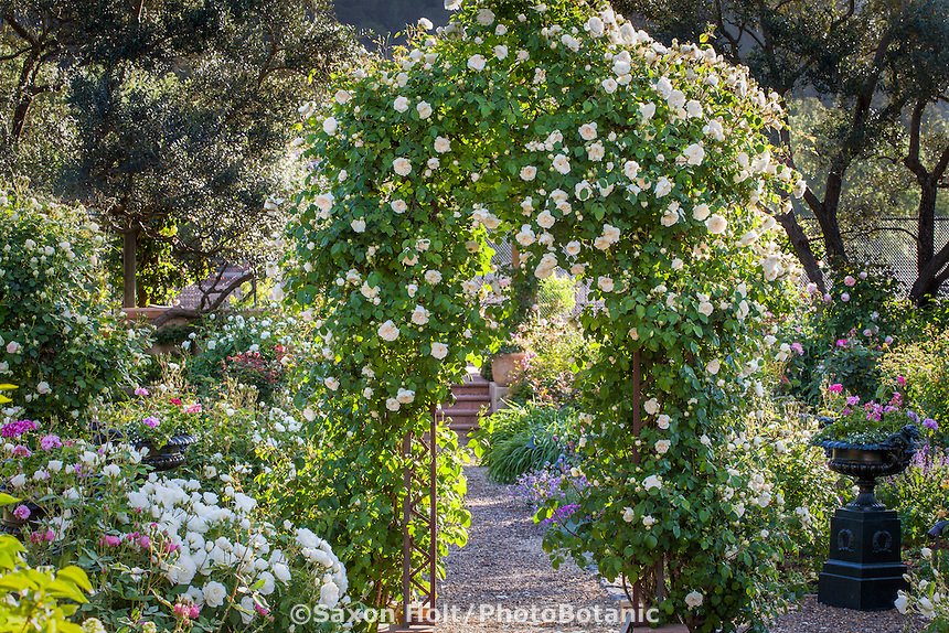 Rose 'Sombreuil', white climbing hybrid tea noisette on arch trellis over path in Magowan Garden